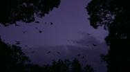 Huge Flock of Bats Flying in Purple Sky- Flying Fox Stock Footage