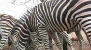 Stock Video Footage of zebras eating