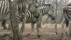 Zebras walk past camera Stock Footage