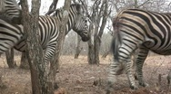 Zebras walk past camera Stock Footage
