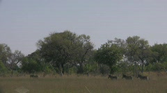 Zebras walking in okavango Stock Footage