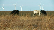 Livestock Grazing Cattle, Rack Focus Stock Footage