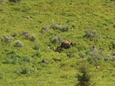 PAL: Mother grizzly with cubs Stock Footage