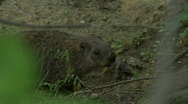 Stock Video Footage of Groundhog