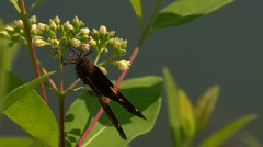 Moth Eating Pollen Close Up Stock Footage