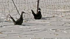 Ringneck Pheasants in snow 2008 M HD Stock Footage