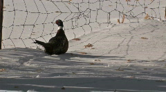 Ringneck Pheasant in snow 2008 M HD Stock Footage