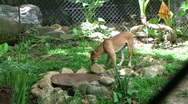 Stock Video Footage of dingo  australian native dog