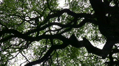 Rosewood tree Stock Footage