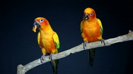 Two Parrots Eating on Perch Stock Footage