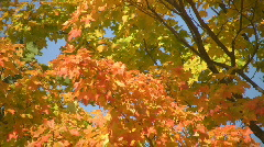 Fall leaves.  Stock Footage