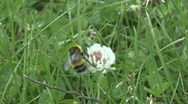 Bee on clover flower 3 Stock Footage