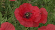 Stock Video Footage of Insects on poppy 1