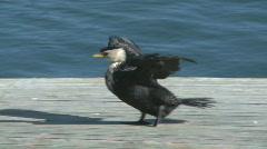 Cormorant seabird Stock Footage
