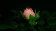 HD1080p Pink rose flowering Version 2 (Time Lapse) Stock Footage
