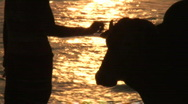 Stock Video Footage of beach woman cow sunset