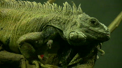 Tuatara Stock Footage