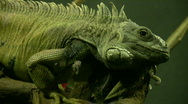 Stock Video Footage of Tuatara