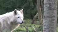 Gray Wolf follow left to right 1 Stock Footage