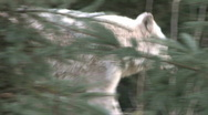 Gray Wolf follow left to right 2 Stock Footage