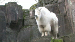 Mountain Goat full view 1 - stock footage