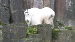 Mountain Goat settles in Stock Footage