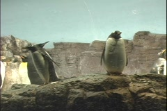 penguin 5 - stock footage