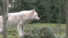 Gray Wolf follow 1 Stock Footage
