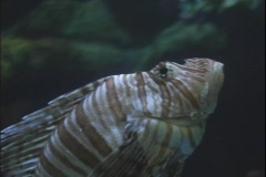 Lion fish 3 Stock Footage