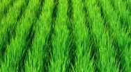 Stock Video Footage of Rice field