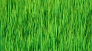 Stock Video Footage of Rice field closeup