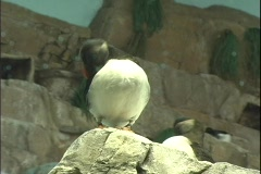 Puffin 3 Stock Footage