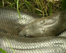 Large Anaconda (Eunectes murinus) Stock Footage