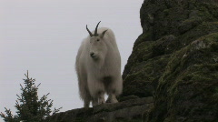 Mountain Goat on mountainside 1 Stock Footage