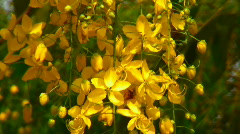 Golden Shower Tree - the national tree of Thailand (closeup) Stock Footage