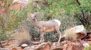 Stock Video Footage of Bighorn sheep ewe