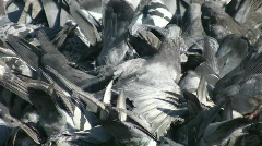 Pigeon Frenzy. - stock footage