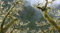 Mossy Oak Branches in Mist Stock Footage
