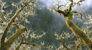 Stock Video Footage of Mossy Oak Branches in Mist