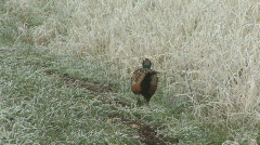 Cock Pheasant at frosty field edge Stock Footage