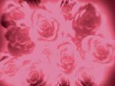 PinkRoses 20 2997 Stock Footage