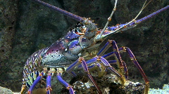 Spiny purple lobster Stock Footage