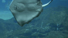 Stingray Stock Footage
