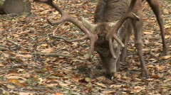HD1080i Male Red Deer in the Forest. Animal. Autumn (Close Up) Stock Footage
