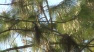 Needles On The Tree 01 Stock Footage