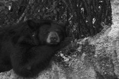 Black Bear sleeping on a rock ECU Stock Footage