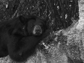 Stock Video Footage of Black Bear sleeping on a rock ECU