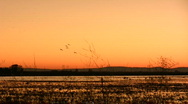 Geese land in a field Stock Footage