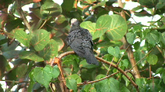 White-crowned Pigeon HD Stock Footage