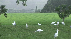 White birds mill about and fly through lush green field Stock Footage